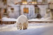 Arctic fox (vulpes lagopus) in Pyramiden, Spitsbergen, Svalbard.