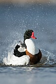 Shelduck ( Tadorna tadorna ), colorful male in breeding dress, taking a bath, cleaning its plumage, having fun, funny, wildlife, Europe..