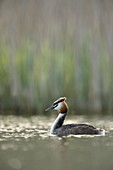 Great Crested Grebe ( Podiceps cristatus ) in breeding dress, swimming, natural vernal surrounding, early morning light, wildlife, Europe..