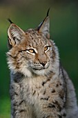 Head portrait of Eurasian Lynx ( Lynx lynx ), wonderful warm light, late evening light, tipped ears, Europe.