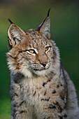Head portrait of Eurasian Lynx ( Lynx lynx ), wonderful warm light, late evening light, tipped ears, Europe.