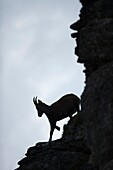 Alpine Ibex ( Capra ibex ), nice silhouette of a female, climbing down a steep rocky cliff, wildlife, Europe.