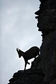 Alpine Ibex ( Capra ibex ), nice silhouette of a female, climbing down a steep rocky cliff, wildlife, Europe.
