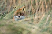 Red Fox ( Vulpes vulpes ), adult, hidden, hiding in high grass, looking directly into the camera, wildlife, Europe..