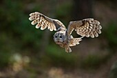 Tawny Owl ( Strix aluco ) in flight, flying, hunting, beating its wings, frontal shot, nice backlight situation, Europe.