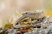 Sunbathing Sand Lizard ( Lacerta agilis ) sitting on some rocks surrounded by colourful moss, wildlife, Europe..