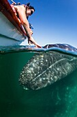 California gray whale calf, Eschrichtius robustus, underwater with excited tourists in San Ignacio Lagoon, Baja California Sur, Mexico.