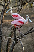 Roseate spoonbill (Platalea ajaja) Courtship behaviour in early spring, Smith Oaks Audubon Rookery, High Island, Texas, USA.