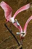 Roseate spoonbill (Ajaia ajaja) Courting pair, Smith Oaks Audubon rookery, High Island, Texas, USA.