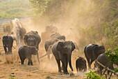 Asia, India, Uttarakhand, Jim Corbett National Park, Asian or Asiatic elephant (Elephas maximus). Dust bath