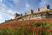 Peñafiel, Spain: Wildflower super bloom surrounds Peñafiel Castle. Fields of poppies sprouted in the region after a wet spring ended months of dry weather.