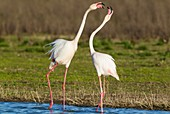 Greater Flamingo (Phoenicopterus roseus). Quarrel between two birds at the Laguna de Fuente de Piedra near the town of Antequera. This is the largest natural lake in Andalusia and Europe's only inland breeding ground for this species. Malaga province, And