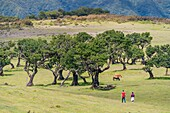 Couple walking and two cows grazing under Laurel trees in the Laurisilva Forest, UNESCO World Heritage Site. Fanal, Porto Moniz municipality, Madeira region, Portugal.