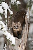 American Pine Marten / Baummarder / Fichtenmarder ( Martes americana ) in winter, sitting in a broken tree, watching attentively, eye contact, Yellowstone NP, USA..