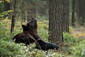 European Brown Bear / Europaeischer Braunbaer (Ursus arctos ) lies on the ground in the srub of a natural forest, looks up a tree.