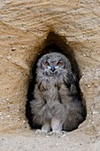 Eurasian Eagle Owls / Europaeische Uhus ( Bubo bubo ), moulting chick, standing in the entrance of its nest burrow, watching, cute, wildlife, Europe.