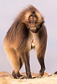 Africa, Ethiopia, Rift Valley, Debre Libanos, Gelada or Gelada baboon (Theropithecus gelada), dominant male.