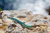 Ibiza wall lizard, Podarcis pityusensis formenterae, Formentera, Balearic Islands, Spain.