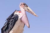 Africa, Ethiopia, Rift Valley, Ziway lake, Marabou stork (Leptoptilos crumenifer), perched on a branch.
