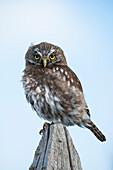 An Austral pygmy-owl (Glaucidium nana) rests atop a fencepost at Fuerte Bulnes, a restored historic fort about 60 kilometers south of Punta Arenas, near Punta Arenas, Magallanes y de la Antartica Chilena, Patagonia, Chile, South America