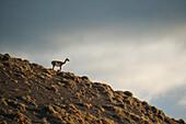 A guanaco (Lama guanicoe) stands alone on a hillside in the sun, Torres del Paine National Park, Magallanes y de la Antartica Chilena, Patagonia, Chile, South America