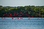 Flocks of scarlet ibises return in the late afternoon to their nightly roosts on an island in the Caroni Swamp Bird Sanctuary, Trinidad, Trinidad and Tobago, Caribbean