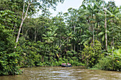 Passengers of an expedition cruise ship use a Zodiac dinghy to explore a small side-arm of the Amazon River, Marali, Para, Brazil, South America