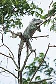 A green iguana (Iguana iguana) climbs high into a leafless tree along an Amazon River tributary, Virasalla, Para, Brazil, South America