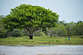 A child stands on the grass near a large tree along an Amazon River tributary, Canacari, Amazonas, Brazil, South America