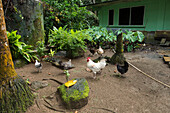 Chickens forage in the yard of a green house surrounded by lush foliage, Pohnpei Island, Pohnpei, Federated States of Micronesia, South Pacific