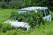 A light blue car, gradually being covered with vines, stands in a swampy area surrounded by high grass, Kosrae Island, Kosrae, Federated States of Micronesia, South Pacific