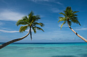 Two palm trees with long curved trunks seem to reach out toward a background of turquoise water and blue skies, Bock Island, Ujae Atoll, Marshall Islands, South Pacific