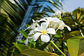 Frangipani (Plumeria) flowers grow abundantly among thick foliage, Fagamalo, Savai'i, Samoa, South Pacific