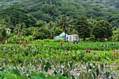 A man with a blue shirt, yellow hat, and holding a machete stands in a field of taro (Colocasia esculenta) near a small, roofless house, Rurutu, Austral Islands, French Polynesia, South Pacific