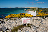 A sign warning of the danger from mines beyond the blooming gorse at Yorke Bay testifies to one of the long-term legacies of the Falklands War, near Stanley, East Falkland, Falkland Islands, British Overseas Territory, South America