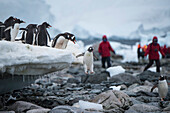 Closely watched by its brethren, a Gentoo penguin (Pygoscelis papua) jumps from an ice ledge to the rocks below, while passengers from an expedition cruise ship watch in the distance, Danco Island, near Graham Land, Antarctica