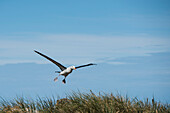 Landing 'flaps' down, a black-browed albatross (Thalassarche melanophris) makes its landing approach over tussock grass, New Island, Falkland Islands, British Overseas Territory