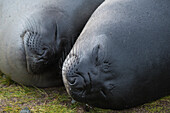 Two southern elephant seals (Mirounga leonina), highly social animals, sleep close to each other on short, matted grass, Fortuna Bay, South Georgia Island, Antarctica