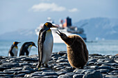 A young King penguin (right, Aptenodytes patagonicus) begs for food from an adult, while other king penguins pass in the background and the expedition cruise ship MS Bremen (Hapag-Lloyd Cruises) lies at anchor in the distance, Gold Harbour, South Georgia