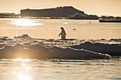 Ein einzelner Adeliepinguin (Pygoscelis adeliae) steht auf einer Scholle aus Meereis während die Sonne bei Gegenlicht untergeht, Paulet Island, Antarktische Halbinsel, Antarktis