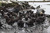 A large group of young Antarctic fur seals (Arctocephalus gazella) surrounds a male (left) and female (right) on a rock-outcrop, Prion Island, near South Georgia Island, Antarctica