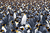 Surrounded by tens of thousands of it brethren, a King penguin (Aptenodytes patagonicus) calls in an effort to find its mate or chick, Gold Harbour, South Georgia Island, Antarctica