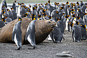 A southern elephant seal (Mirounga leonina) makes its way among a crowd of King penguins (Aptenodytes patagonicus) on the beach, Gold Harbour, South Georgia Island, Antarctica