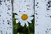 A daisy (Bellis perennis) appears to peek through a gap in a white fence, Westpoint Island, Falkland Islands, British Overseas Territory