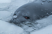 A Weddell seal (Leptonychotes weddellii) emerges from brash ice, sporting small bits of ice on its nose and back, Gourdin Island, Antarctica