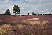blossoming heather, Wietze, Lüneburger Heide, Celle - district, Lower Saxony, Germany, Europe