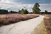 blossoming heather, footpath, Wietze, Lüneburger Heide, Celle - district, Lower Saxony, Germany, Europe