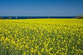canola field, sailboat, Baltic Sea, Staberdorf, Fehmarn, Ostholstein - district, Schleswig-Holstein, Germany, Europe