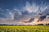 Rapsfeld, Sonnenuntergang, Himmel, Windmühle, Accum, Schortens, Landkreis Friesland, Niedersachsen, Deutschland, Europa