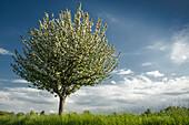 Blühender Apfelbaum, Sande, Landkreis Friesland, Niedersachsen, Deutschland, Europa
